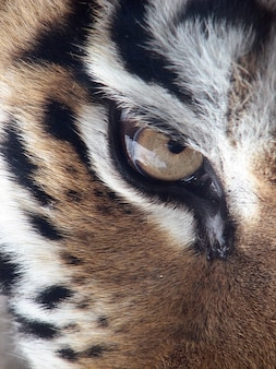 Oeil tigris altaica panthera tigre sibérien