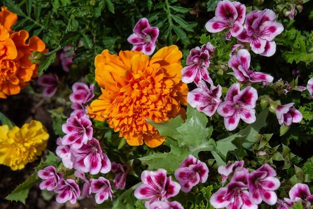 Oeillet chinois orange et jaune et quelques fleurs roses dans une jardinière