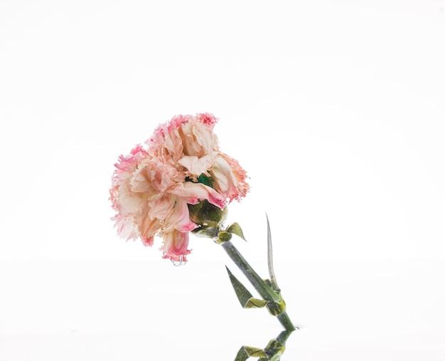 Oeillet rose sur fond blanc