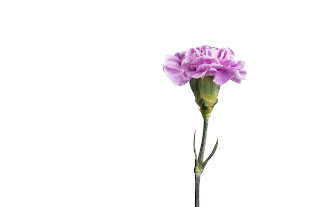Oeillet violet sur fond blanc