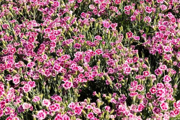 Oeillets fleuris et colorés dans un marché aux fleurs de printemps