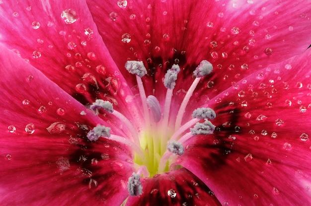 Œillets rouges en fleurs