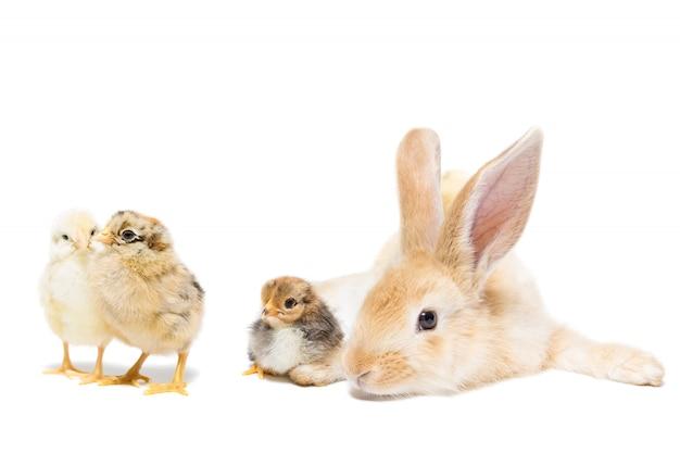 Oeuf de poule lapin blanc