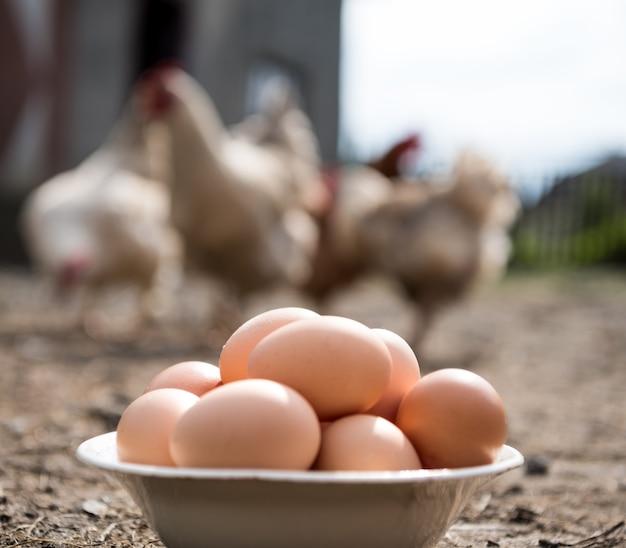 Oeufs biologiques frais dans l'assiette. poules en arrière-plan