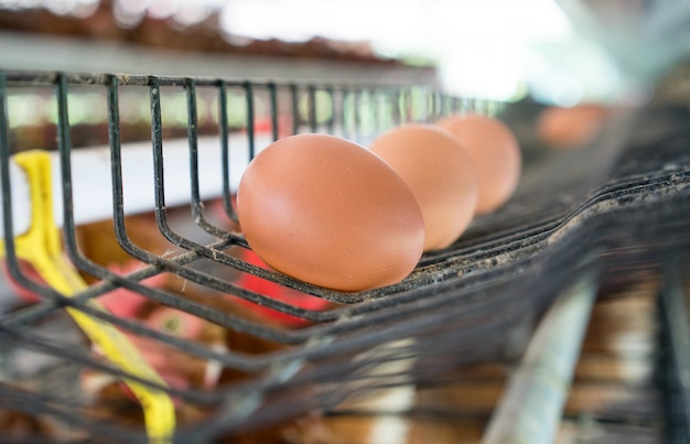 Oeufs dans un plateau. oeufs de poulet et poulets mangeant de la nourriture dans le fond de la ferme.
