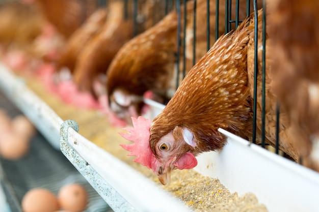 Oeufs de poulet et poulets mangeant de la nourriture à la ferme