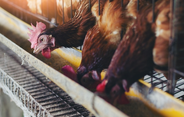 Oeufs poulets, poules dans une ferme industrielle de cages à bétail