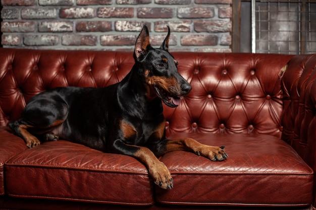 Og repose sur le canapé en cuir.