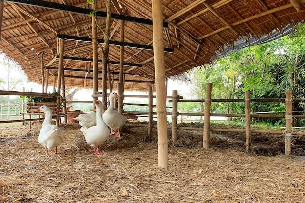 Oie blanche de groupe marchant dans la stalle