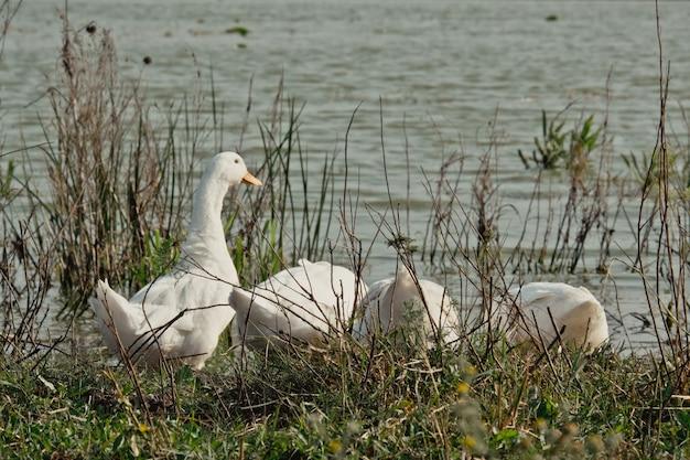 Oie blanche près du lac. oie de canard dans la nature pour durer une heure. un troupeau d'oies blanches profitant de leur temps de copain ensemble
