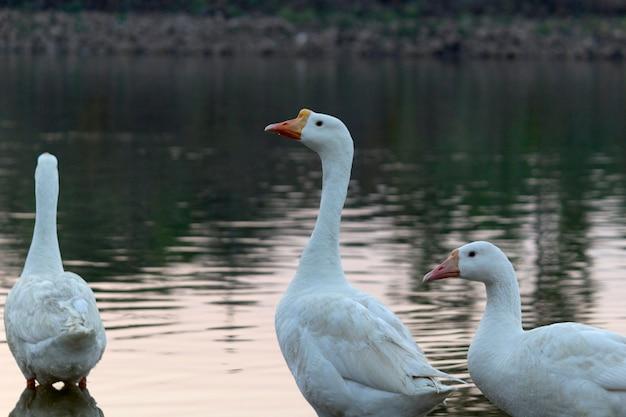 Oie des cygnes oies communes oiseaux au bord du lac