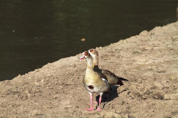Oie égyptienne. deux oies près de l'eau. rivière grumeti, serengeti, tanzanie