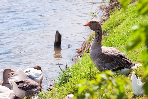 Oie grise domestique sur une herbe verte sur la rive du fleuve