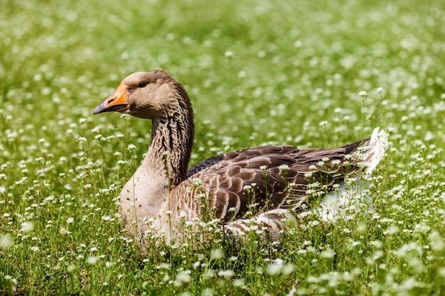 Oie grise est dans la pelouse verte