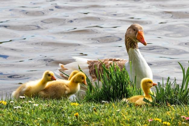 Oie avec de petits oisons jaunes sur la rivière.