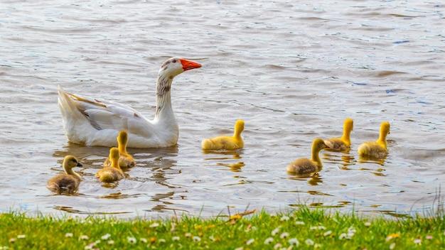 Une Oie Avec De Petits Oisons Nage Sur L'eau Près Du Rivage. Photo Premium