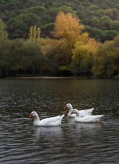 Oies en automne