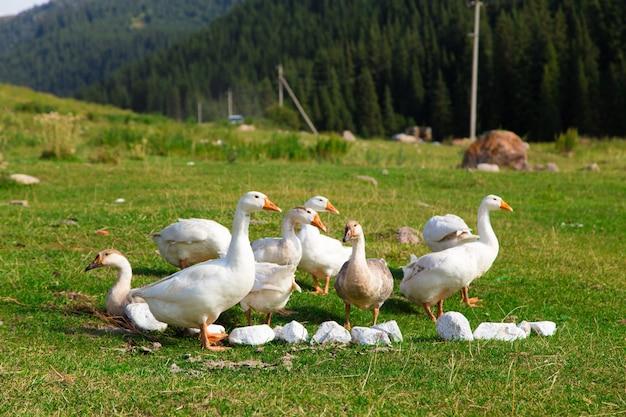 Oies blanches dans l'herbe dans le pré.