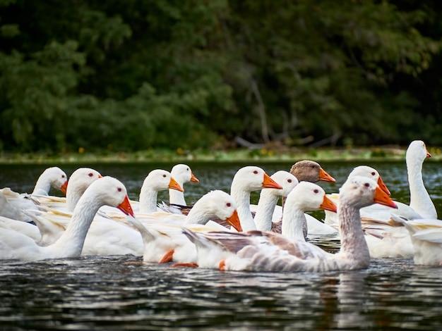 Oies blanches dans une rivière