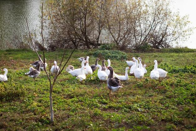 Des oies blanches et grises affluent près de l'eau. agriculture agriculture