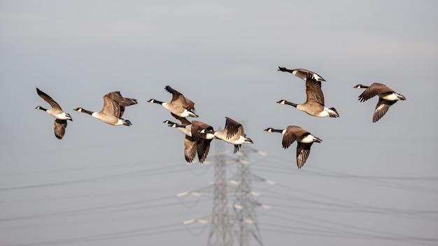 Oies cendrées (anser anser) survolant les marais de l'essex