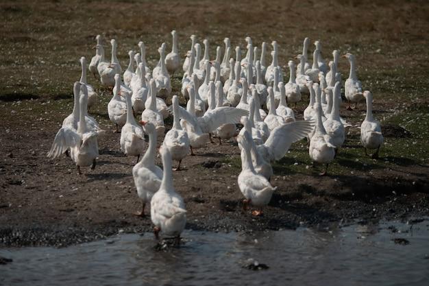 Des oies dans l'herbe. oiseau domestique. une volée d'oies marchant dans le champ