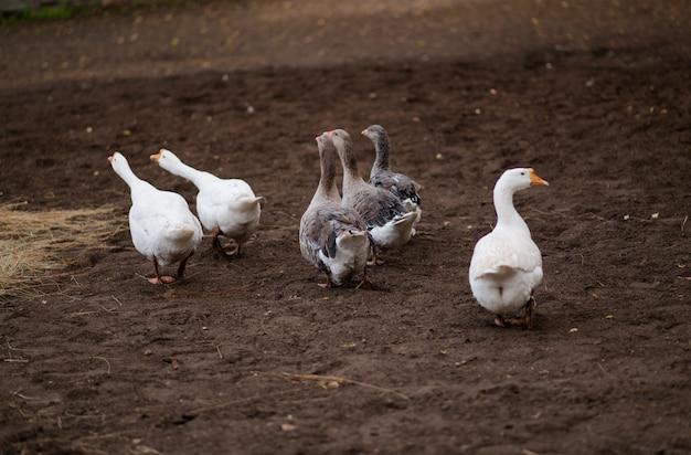 Oies Dans L'herbe. Oiseau Domestique. Photo Premium