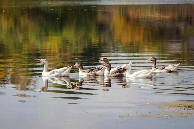 Les oies flottent sur la rivière, dans laquelle les arbres se reflètent