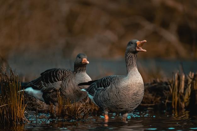 Oies grises sauvages dans un étang sur une scène floue