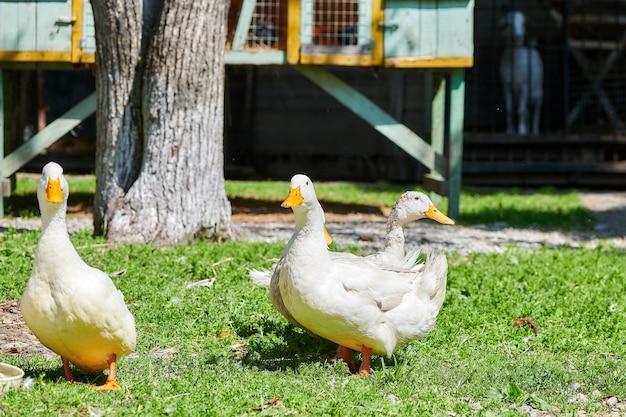 Oies marchant sur l'herbe à la ferme