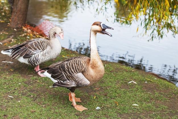 Oies marchant près du lac portrait d'un canard