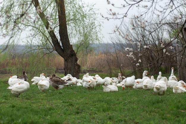 Les oies marchent au printemps dans le village sur la pelouse avec de l'herbe verte fraîche
