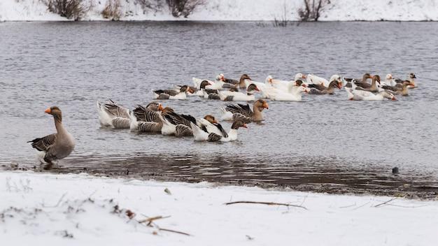 Les oies nagent le long de la rivière en hiver près des rives enneigées