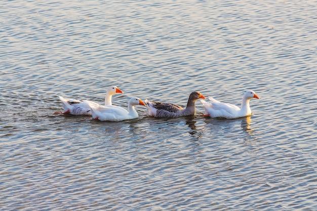Les oies nagent le long de la rivière. volaille de sauvagine_