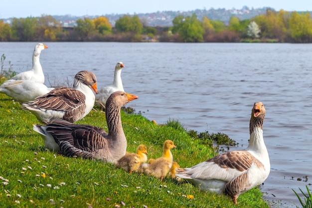 Oies et petit oisillon jaune sur la rive du fleuve