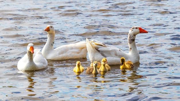 Les oies et les petits oisons jaunes flottent sur la rivière