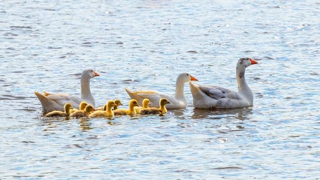 Les oies avec de petits oisons jaunes nagent le long de la rivière