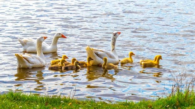 Les oies avec de petits oisons nagent le long de la rivière près du rivage