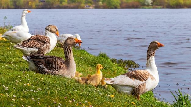 Oies Avec De Petits Oisons Sur La Rivière, Un Troupeau D'oies Photo Premium