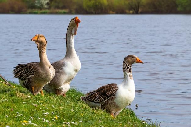 Les oies sur la rivière au printemps. élever des oies.