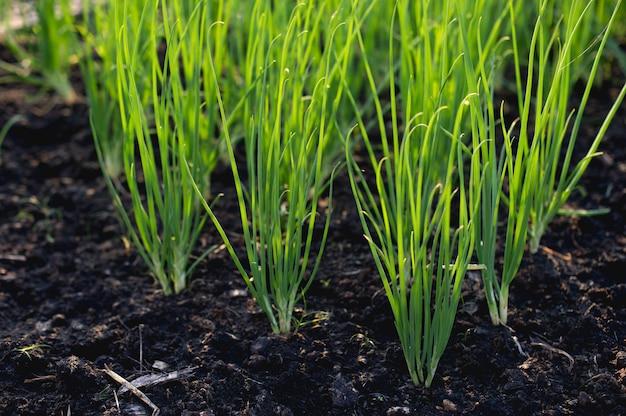 Oignon du jardin en croissance légume bio