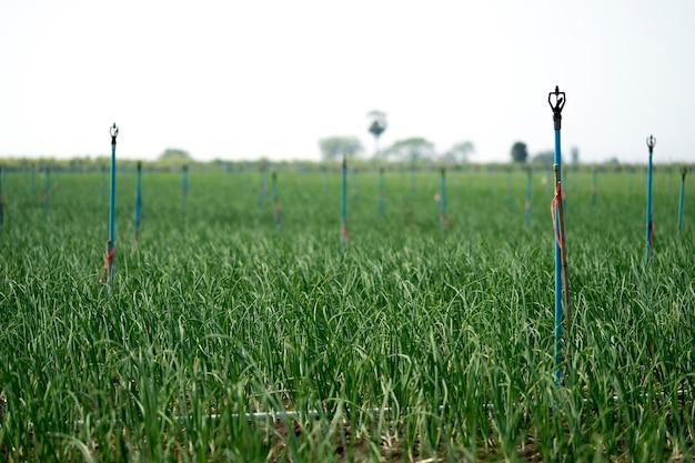L'oignon est cultivé sur le sol dans les parcelles
