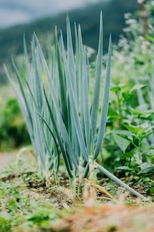 Oignon de printemps biologique en croissance