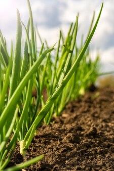 Oignons verts dans un champ en rangées.