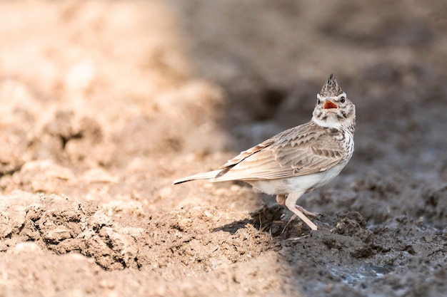Oiseau alouette à crête commune galerida cristata avec un bec ouvert.