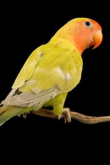 Oiseau d'amour isolé