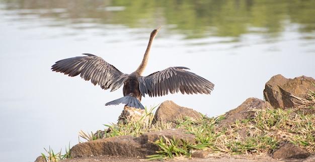 Oiseau aquatique brésilien biguatinga séchant ses ailes au soleil, lumière naturelle, mise au point sélective.