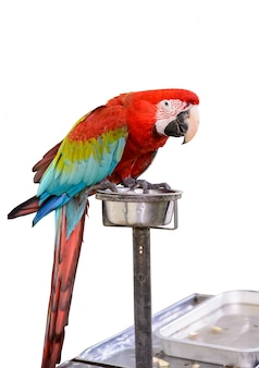 Oiseau ara rouge et vert coloré isolé