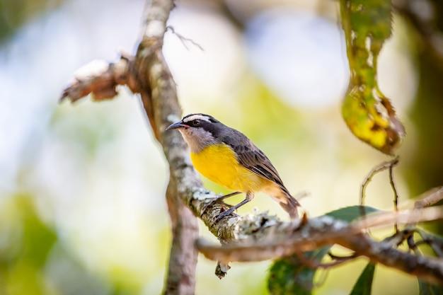 Oiseau bananaquits (coereba flaveola) debout sur un arbre dans la campagne brésilienne