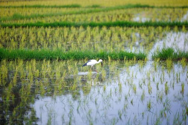 Un oiseau à bec ouvert asiatique dans une rizière thaïlandaise